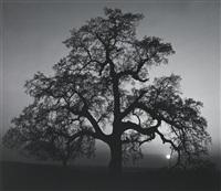 oak tree, sunset city, sierra foothills, california by ansel adams