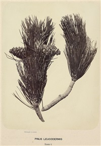 pinus leucodermis, tabula i und ii (2 works) by franz antoine