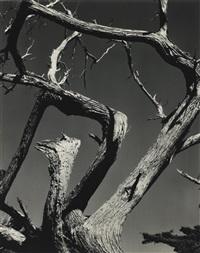 cypress by edward weston