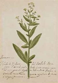 branche de menthe, balsamita major desf. by federico (prince) cesi