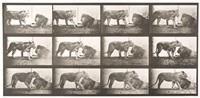 lioness walking; lion lying down, plate 727 by eadweard muybridge