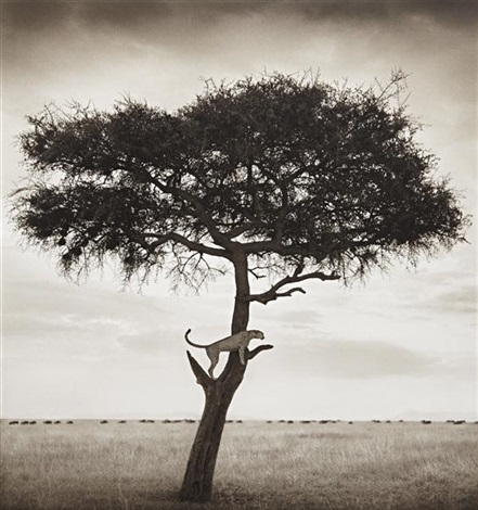 cheetah in tree maasai mara by nick brandt