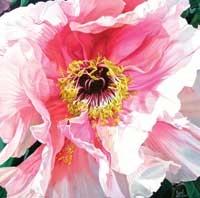 poppy flower by poppy drews liem