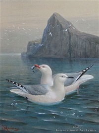 red billed gull & black - billed gull by johannes gerardus keulemans