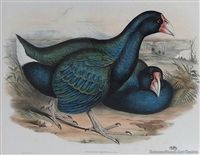 notornis or takahe (notornis mantelli) by john gould