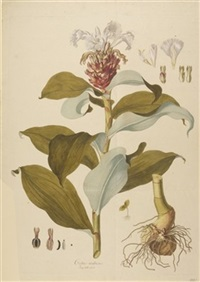 costus arabicus by nicolaus joseph von jacquin