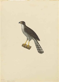 an african goshawk (accipiter tachiro); a large woodshrike (tephrodornis gularis) and a masked shrike (lanius nubicus ) (pair) by jean gabriel prêtre