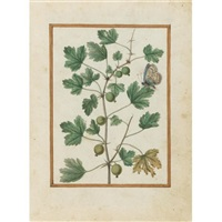 gooseberry and butterfly by jacques le moyne (de morgues)