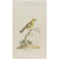 prairie warbler by john abbot
