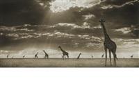 giraffes in evening light, massai mara by nick brandt