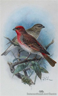 scarlet grosbeak by johannes gerardus keulemans
