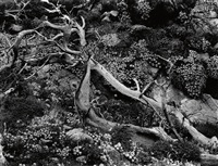 study of branch and flowers by brett weston