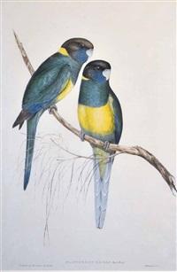 bauers parrakeet (platycercus baueri) by john gould