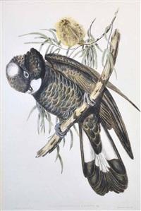 baudins cockatoo (calyptorhynchus baudinii) by john gould