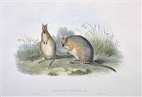 halmaturus derbianus - derby's wallaby by john gould