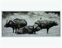 buffalo group portrait, amboseli by nick brandt