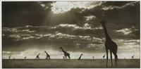 giraffes in evening light, masai mara by nick brandt