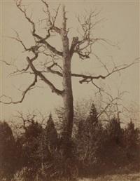 étude d'arbre (study) by eugène cuvelier
