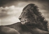 lion before storm by nick brandt