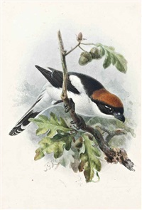 woodchat by johannes gerardus keulemans