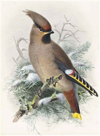 waxwing by johannes gerardus keulemans