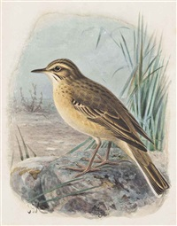 tawny pipit by johannes gerardus keulemans