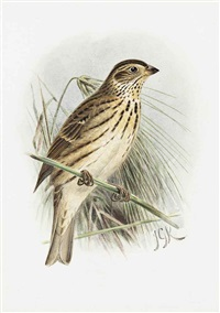 corn bunting by johannes gerardus keulemans