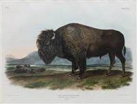 bos americanus, male (american bison or buffalo), plate 56 by john james audubon