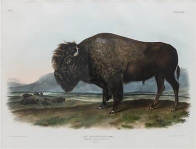 bos americanus male american bison or buffalo plate 56 by john james audubon