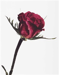 rose, colour wonder, london by irving penn