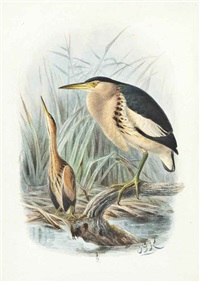 little bitterns by johannes gerardus keulemans
