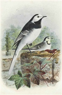 wagtail by johannes gerardus keulemans