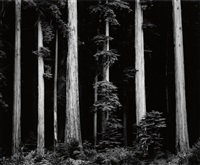 northern california coast redwoods by ansel adams