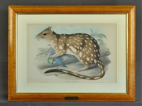 dasyurus maculatus (spotted-tailed quoll) descriptive sheet verso by john gould