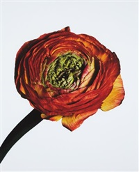 ranunculus/ ranunculus asiaticus: picotee (new york) by irving penn