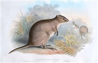 short tailed wallaby (quoka) by john gould