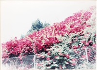 bougainvilla hollywood freeway by jack pierson