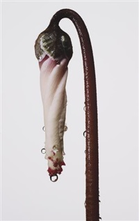 persian violet cyclamen/cyclamen persicum (new york) by irving penn