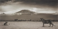 lionesses with kilimanjaro, amboseli by nick brandt
