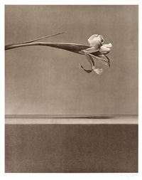 untitled (from flowers portfolio) by robert mapplethorpe
