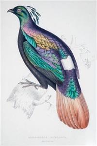 lophophorus impeyanus by john gould