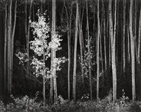 aspen, northern new mexico by ansel adams