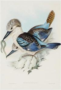 dacelo leachii (leach's kingfisher) by john gould