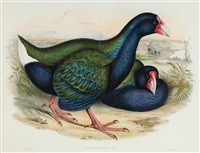 notornis mantelli (birds of australia supplement) by john gould