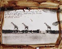 giraffes in mirage on the taru desert, kenya, june by peter beard