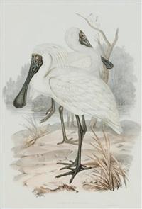 platalea regia (royal spoonbill) by john gould