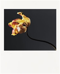 vanishing tulips (portfolio of 12) by peter hilgers