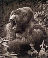 gorilla baring teeth, parc des volcans by nick brandt