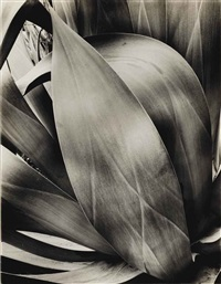 study of agave, 1932 by brett weston