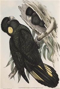 calyptorhynchus xanthonotus (yellow-eared black cockatoo) by john gould
